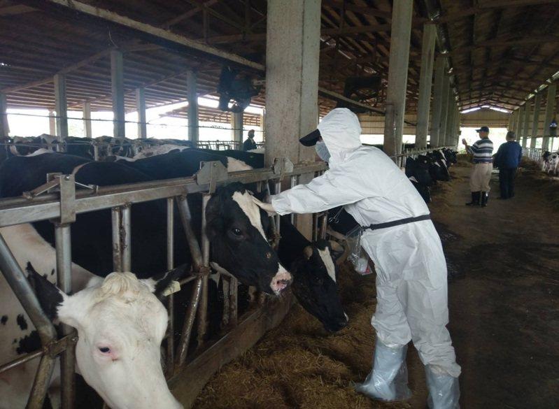 桃園市政府做今天派出10組獸醫和防疫人員,到各牧場為牛注射疫苗。圖/桃園市動保處提供