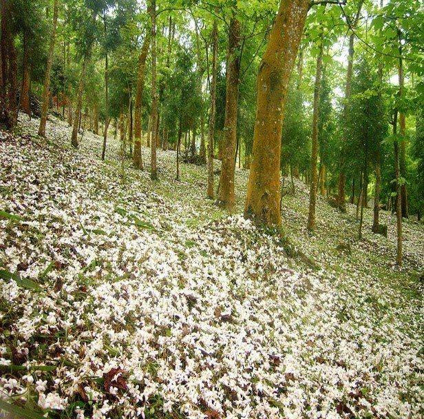 4、5月油桐花盛開,台中正是賞花的最佳時機。圖/中市府觀旅局提供