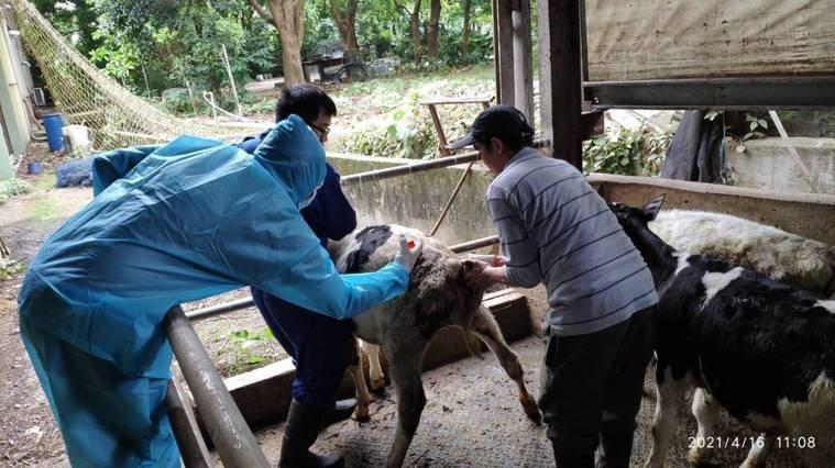 新竹縣完成全縣3108頭牛隻預防注射,僅花費30小時就完成工作。圖/新竹縣家畜疾病防治所提供