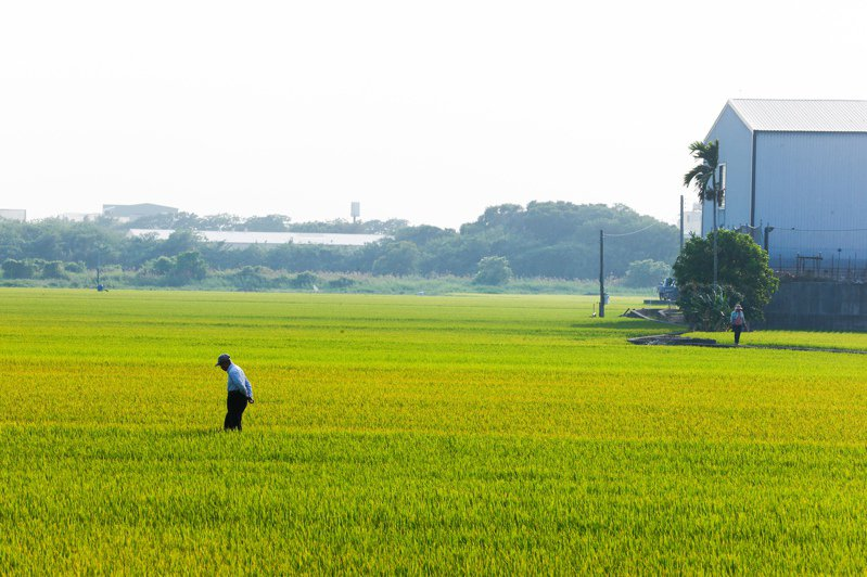 為降低農民對稻穀保價收購制度依賴,農委會輔導轉作、減少稻米面積推出的「對地綠色環境給付計畫」,但成效不彰。  聯合報資料照片