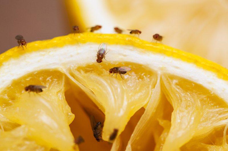 看似「頭腦簡單」的小小果蠅,竟是揭開大腦電路的關鍵生物。 圖│iStock