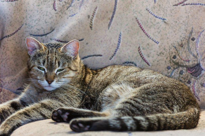 劉姓貓奴說,看電視時,原躲在窗台睡覺的貓,突然跳起來,四處逃竄,隨後手機的國家級警報突然大響,原來貓發出的警報比國家警報還快。圖為示意圖,非新聞當事貓。圖/Ingimage