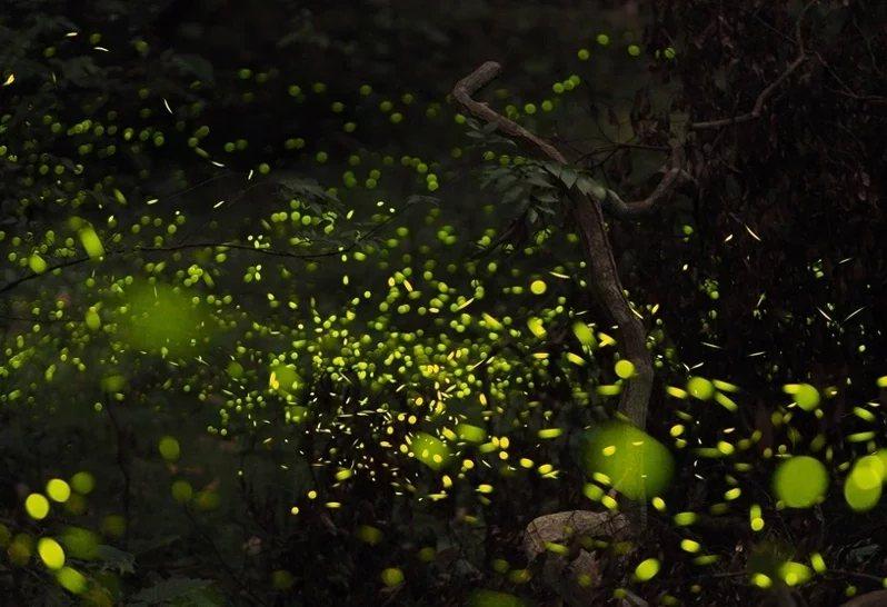 仲夏螢光流舞,夜間更美麗。  圖/雄獅旅遊提供
