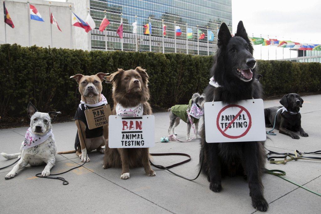 圖為2018年美國一起反對化妝品使用動物實驗的抗爭活動,其中示威者在狗身上掛上反對標語。 圖/美聯社