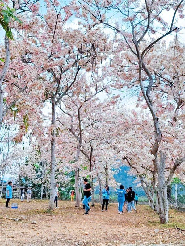 國道6號埔里端終點旁花旗木近期盛放,吸引民眾搶拍成為網紅景點。  圖/讀者提供