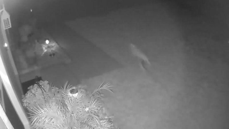 監視器畫面裡出現奔逃的動物。圖/取自fox35orlando
