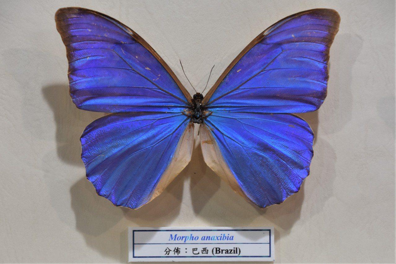 炫目的藍色蝴蝶,牠們屬於「閃蝶」家族,產於中南美洲,稱作「摩爾佛」蝶 圖/沈正柔...