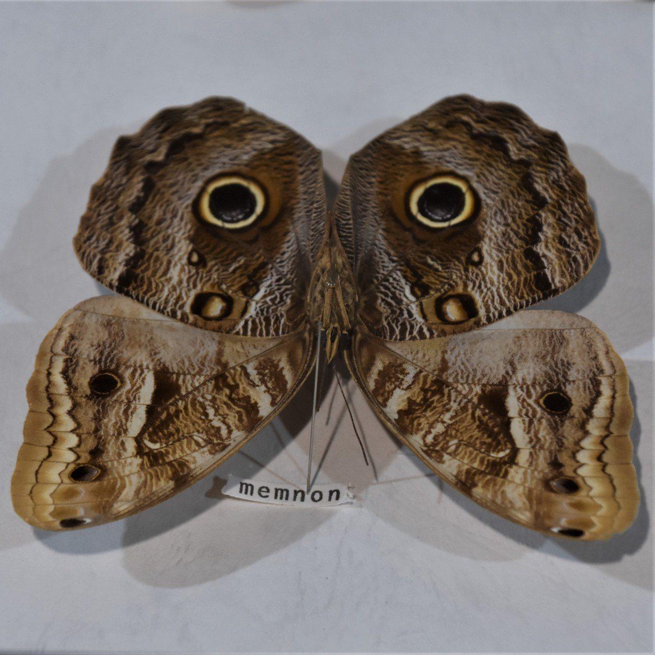 來自中南美原始森林的貓頭鷹蝶,蝶翅反面有類似貓頭鷹的紋路,後翅明顯的大型眼紋,像...