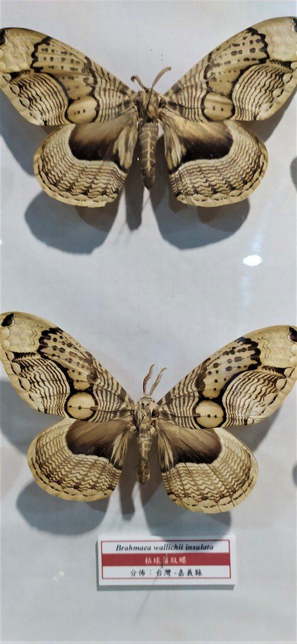 「神明蝶」其實是蛾,學名「枯球籮紋蛾」。 圖/沈正柔 提供