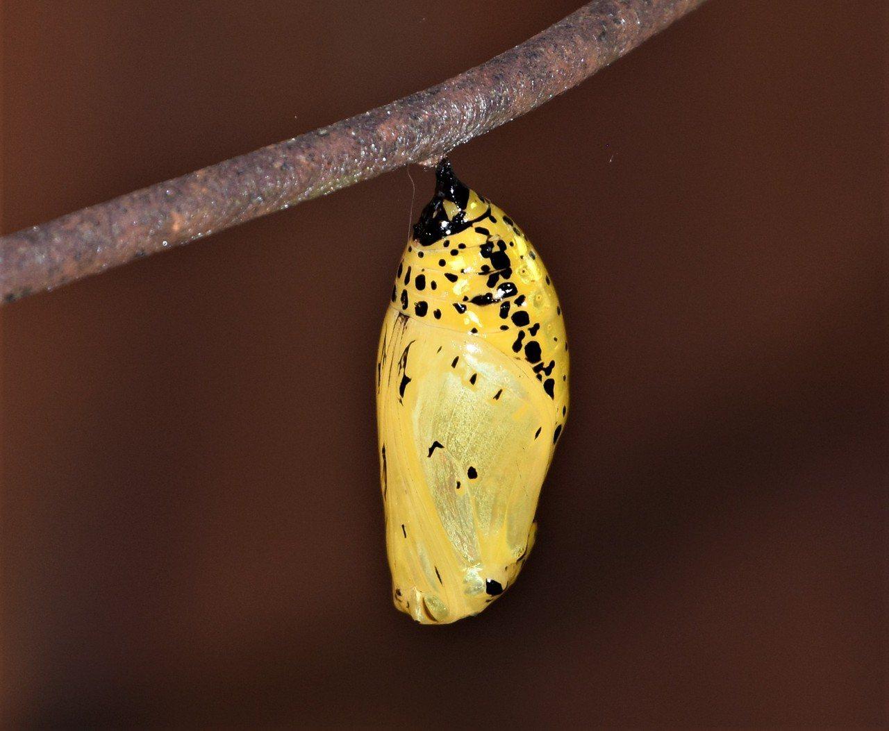 大白斑蝶的金色蛹 圖/沈正柔 提供
