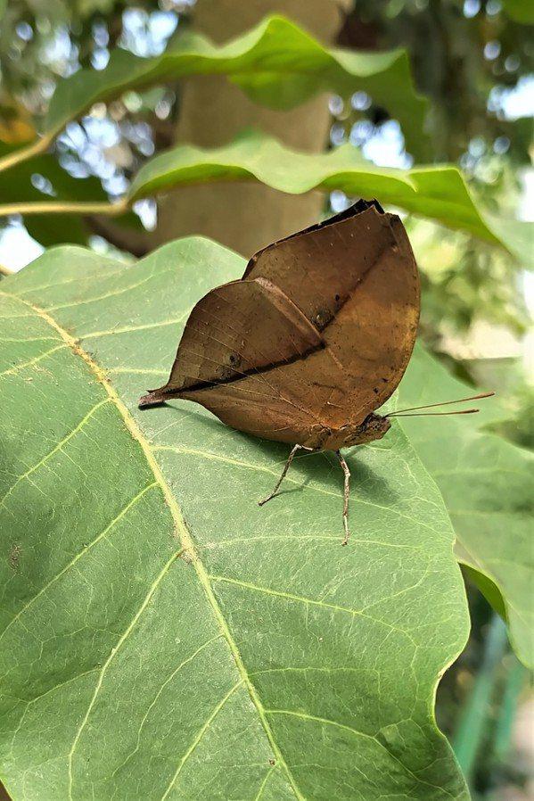 枯葉蝶是擬態高手,合起翅膀就像一片枯葉 圖/沈正柔 提供