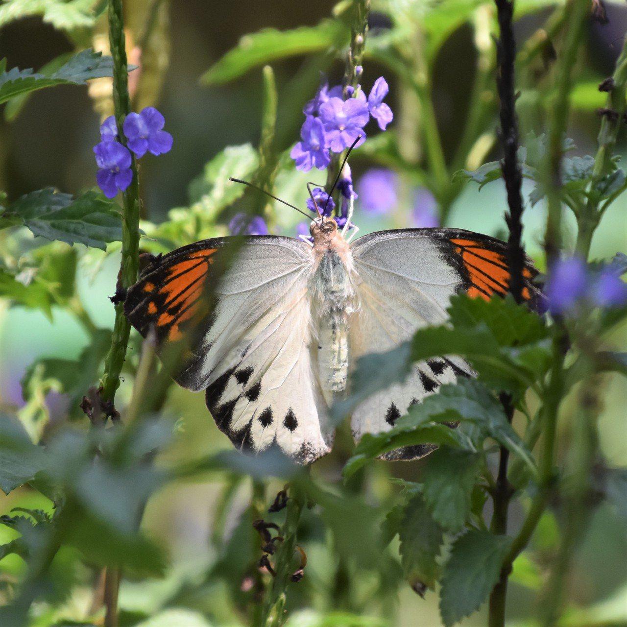 端紅蝶是最大的粉蝶,前翅背面頂角有三角型橙紅色斑紋,據說橙紅色鱗粉含有神經毒。 ...