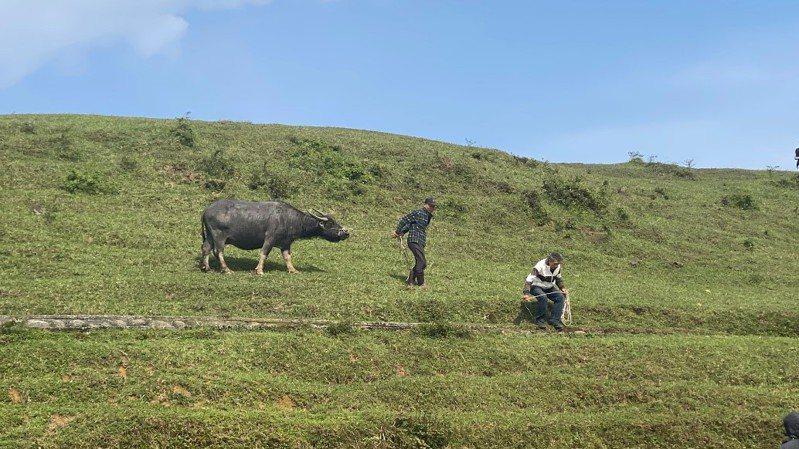 放養役用牛除飼主外,其他人不易接近。圖/新北市動保處提供