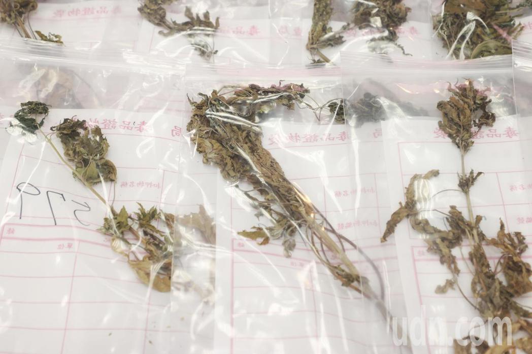 法務部調查局破獲最大規模大麻種植案件,總共查獲1608株大麻,創下紀錄。記者曾原...