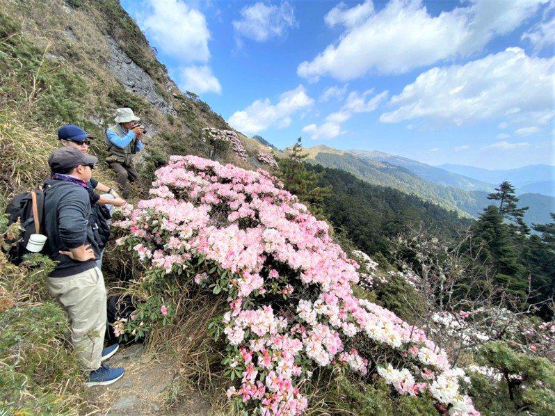 合歡山杜鵑盛放,紅、粉紅、白色花海繽紛,漫山遍野,風景迷人,近期吸引大批民眾遊賞。圖/讀者提供