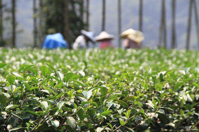 受到乾旱衝擊,今年南投春茶減產三到四成。圖/聯合報系資料照片