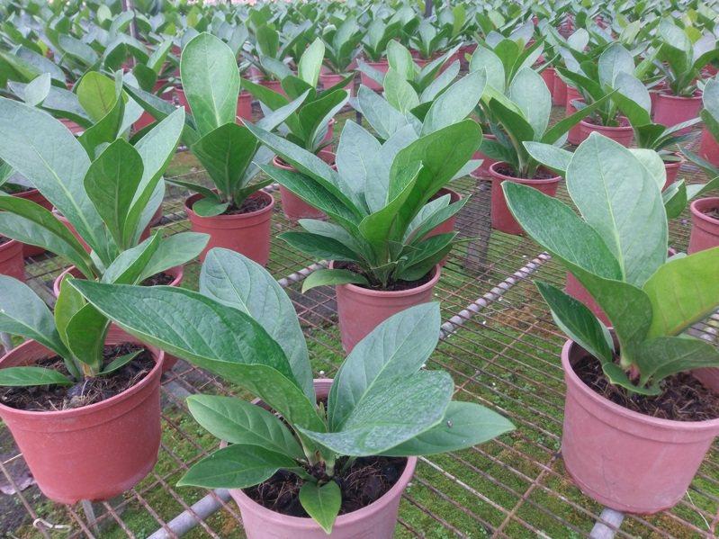 農委會高雄農改場研發觀葉用火鶴的組織培養繁殖技術,目前已有卉豐園藝有限公司申請授權,未來將應用於種苗生產,推廣上市後,可有效提高種苗生產效率。圖/高雄場提供