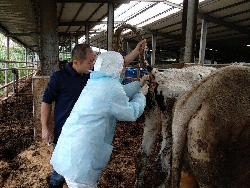 台灣本島首度發生牛結節疹疫情。圖/新北市動保處提供
