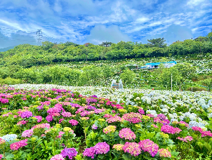 陽明山高家繡球花田本周正式開園,花粉們快出動。   圖/KLOOK提供