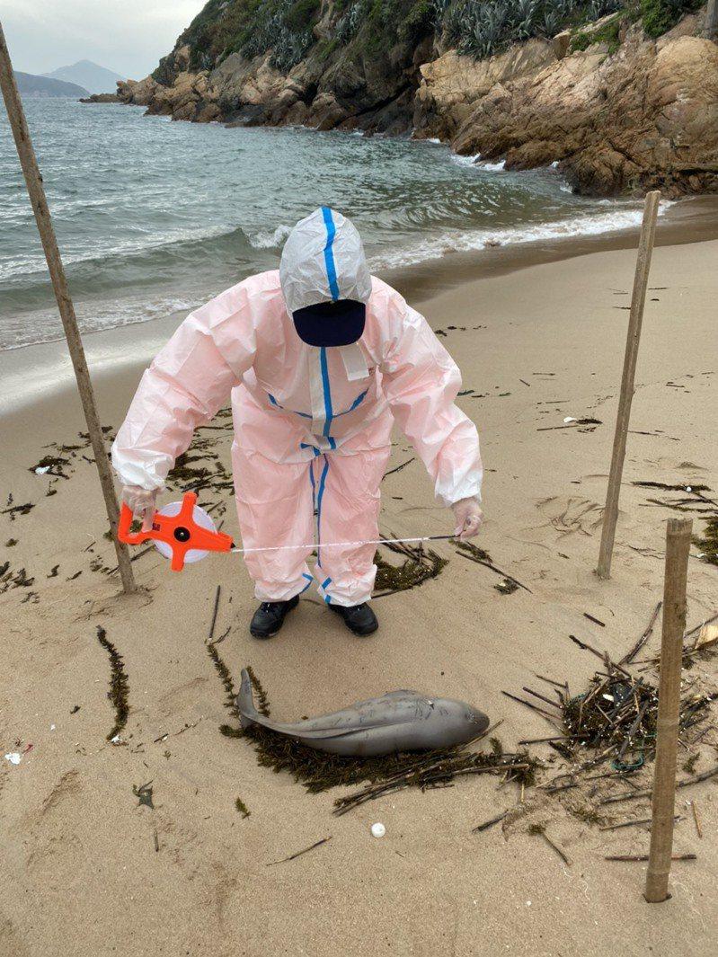 馬祖近日已發現4起死亡鯨豚,漁牧科人員到場協助勘驗。圖/馬祖岸巡隊提供