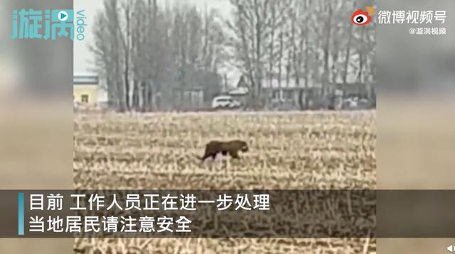 漫布在東北密山白魚灣鎮村莊上的東北虎,23日晚間已被找到並制伏。(新浪)