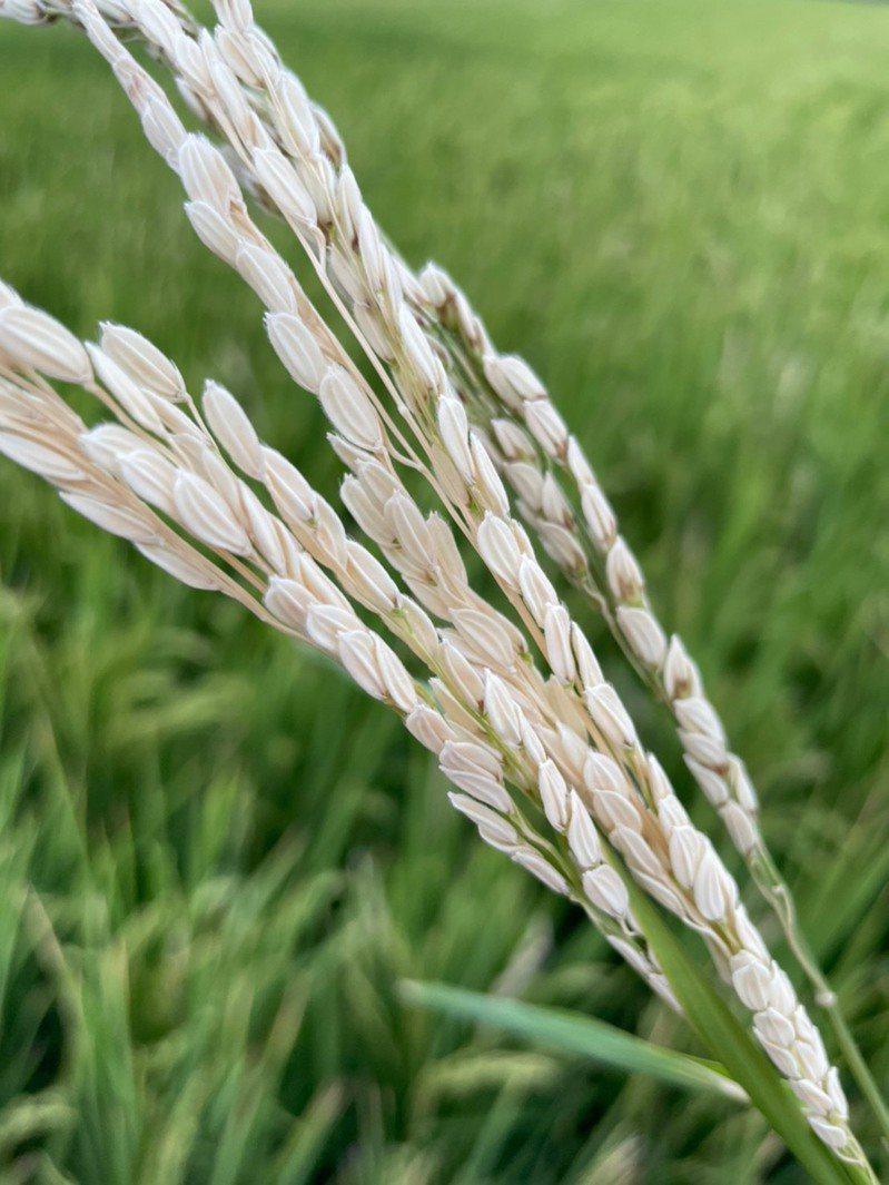 屏東恆春半島稻作即將採收,農民卻發現稻穗多變空包彈。記者潘欣中/翻攝