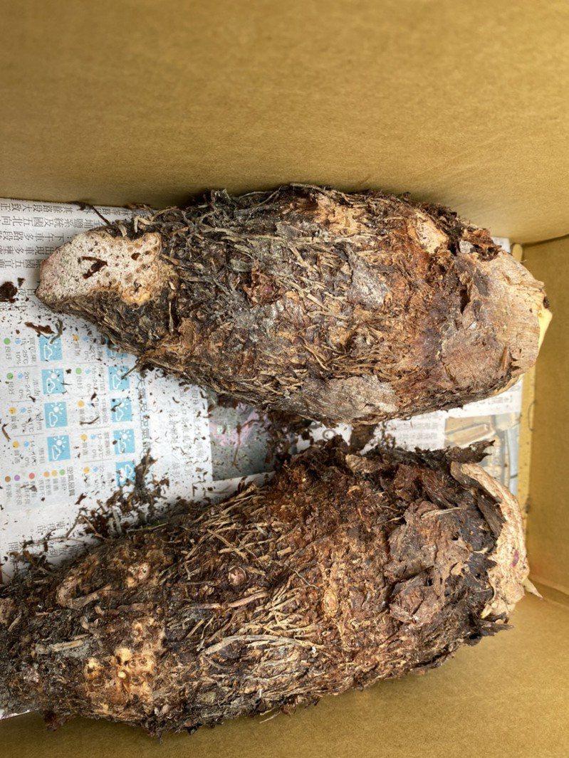 高樹芋頭農表示,今年因中部乾旱的緣故,反觀沒缺水的屏東因獲得福,芋頭的產地價格比去年每台斤20多元漲至30多元,創下高樹芋頭最好的價格。記者陳弘逸/攝影