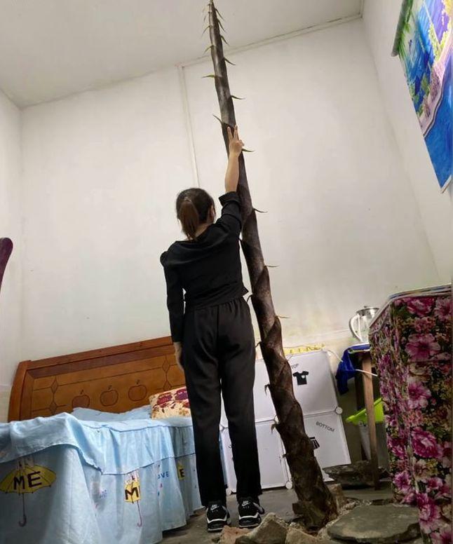 大陸湖南一間學校的女教師宿舍內,一根竹筍突然從水泥地的裂縫中長出,不到一個月就已將近4公尺高。圖擷自網易新聞