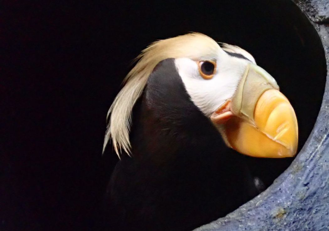 鳳頭海鸚鵡(成鳥)。  屏東海生館/提供