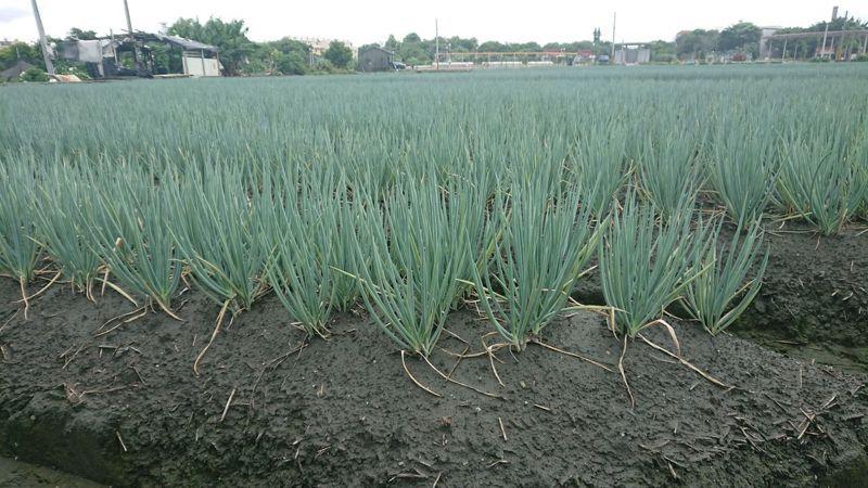 彰化縣是全台的青蔥最大產地,年產量逾千萬噸。記者簡慧珍/攝影
