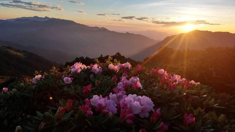 合歡山杜鵑花季提前展開,小奇萊、石門山都可看到玉山杜鵑盛開。圖/曾沛堯提供