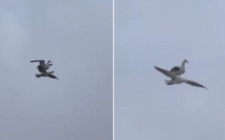一隻海鷗雙腳站立在另一隻展翅飛翔的海鷗背上。圖/取自推特影片