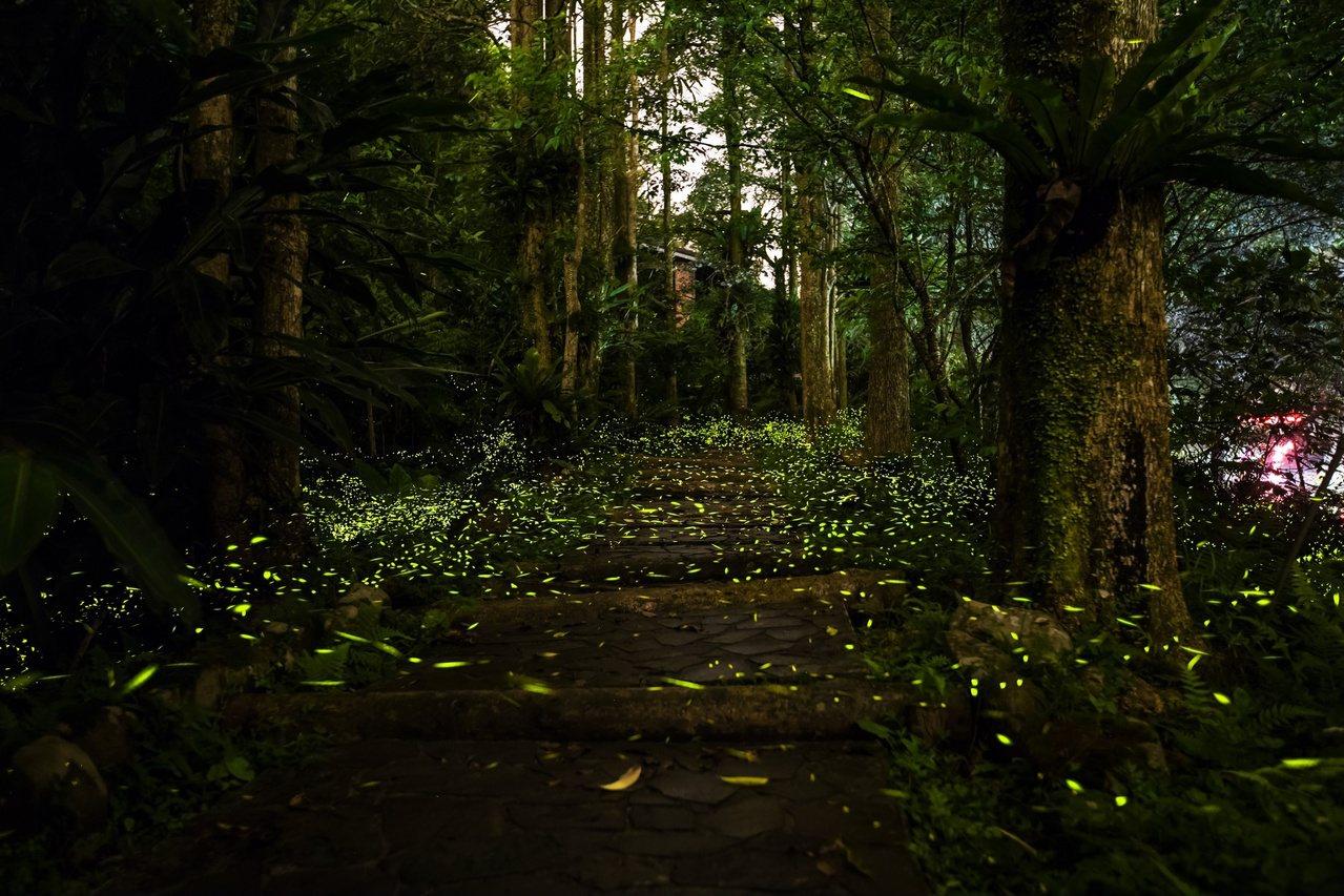 大量螢火蟲在樹陰下發出綠色螢光,畫面美得令人驚嘆。 圖/文山農場提供