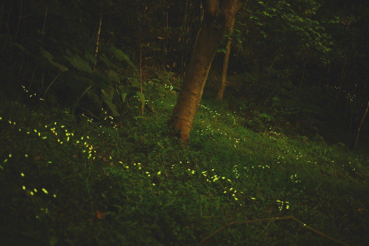 每到螢火蟲季節,虎山入夜後總是螢光點點。 圖/北市公園處提供