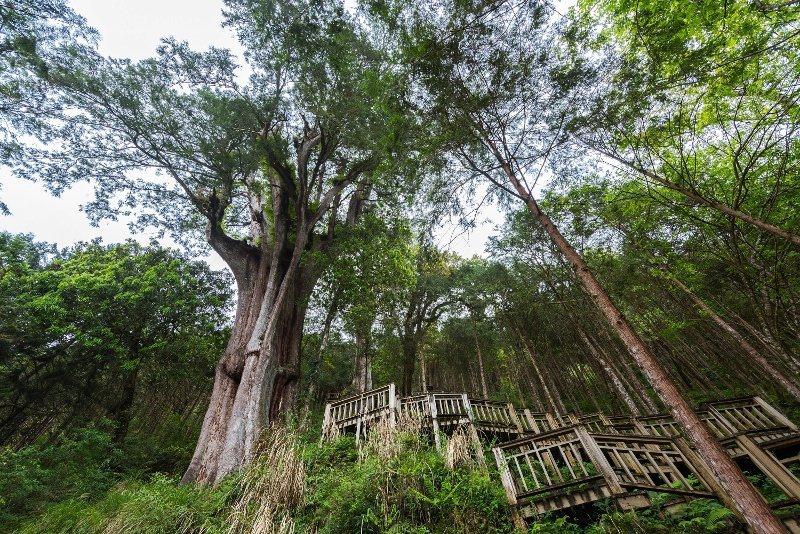 力麗棲蘭神木園,每棵神木以歷代先賢命名。 業者/提供