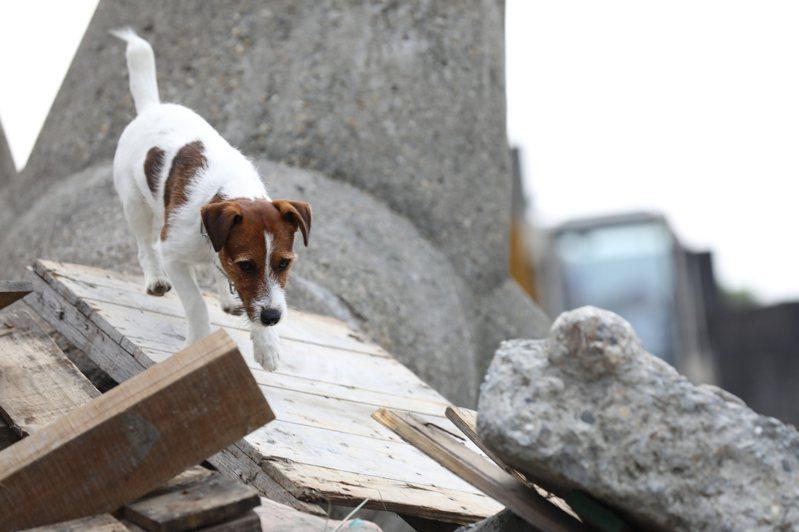 即便瓦礫堆3米以下,搜救犬仍可憑靈敏嗅覺搜尋到生還者。圖/新北市政府消防局大埔分隊提供