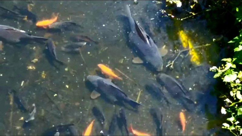 桃園市龍潭區聖亭路二板橋下的溪魚被困在淺水區。圖/徐玉樹議員提供