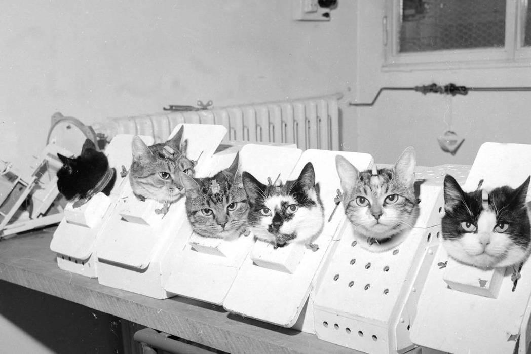 法國在1963年加入了太空戰局,但法國選擇利用貓來「參戰」,圖為當時接受訓練與測...