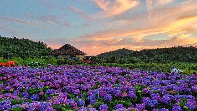 財福繡球花田跟木屋的搭配就是5-6月限定的美景! 引用來源/財福海芋田