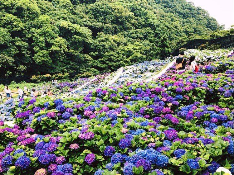 大梯田在繡球花盛開的時後超美,梯形的栽種地形非常有層次感 引用來源/大梯田花卉生...