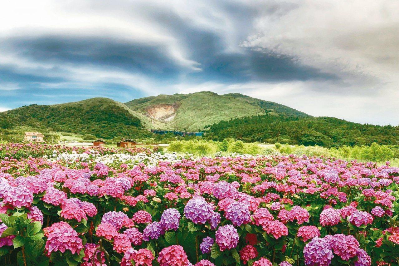 陽明山海芋季過後,接著5月開始就是繡球花的季節啦!伴隨著梅雨季,能讓繡球花滋潤的...