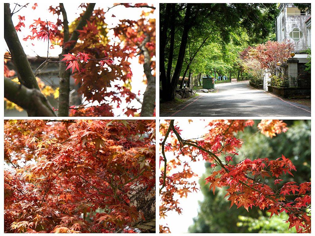 日本楓將綠色森林點綴得如幻似夢