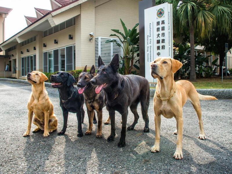 蔡英文總統領養搜救犬「樂樂」,遭質疑是否有「特權收養」之嫌。圖為高雄市消防局特搜中隊搜救犬。圖/高雄市消防局提供