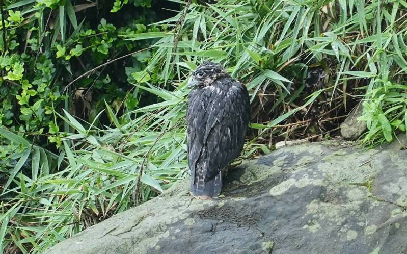 新北市瑞芳區酋長岩1隻保育鳥類遊隼幼鳥,跌出巢外受困岩壁,最後狼狽落地。圖/基隆鳥會提供