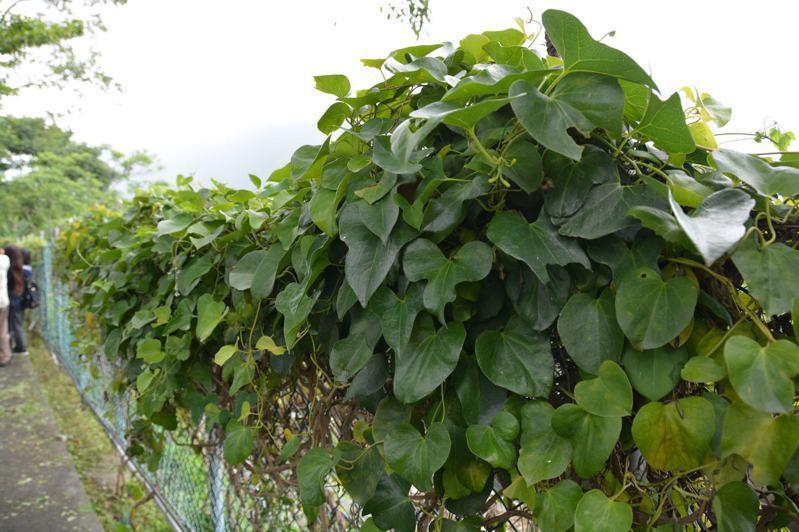 花蓮亞泥生態園區廣植馬兜鈴等鳳蝶喜愛的食草,協助復育珠光鳳蝶。圖/民眾提供