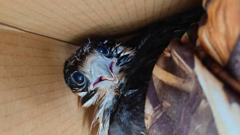 新北市瑞芳區酋長岩1隻遊隼幼鷹跌落巢外,最後落地。新北動保護處獸醫師檢視健康無大礙,暫交由台灣猛禽研究會照料。圖/基隆鳥會提供