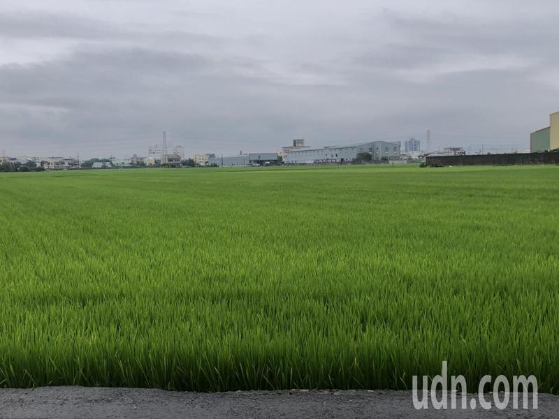 彰化市今天凌晨下起大雨,對水稻耕種多少有幫助。記者林敬家/攝影