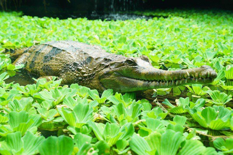 馬來長吻鱷屬於外溫動物,體溫會隨著環境溫度變化而改變,每年進入4至5月天氣回暖時,便是馬來長吻鱷調節身體的代謝機能趨向正常、活動量提升的時期。圖/北市動物園提供