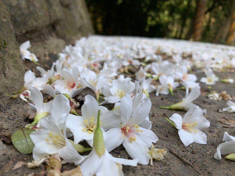 新竹縣桐花祭系列活動開跑,各鄉鎮推出多場活動,要讓民眾好好體驗客家桐花文化。圖/北埔鄉公所提供