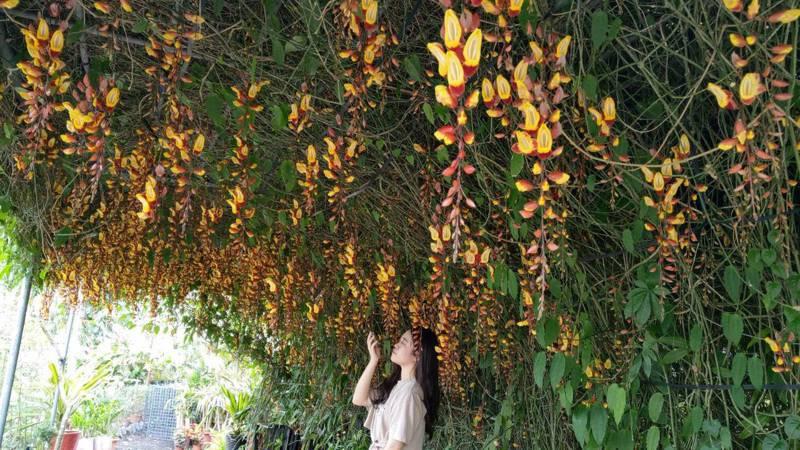 金雙甡花卉農場的蘭花非常美麗。 記者戴永華/攝影